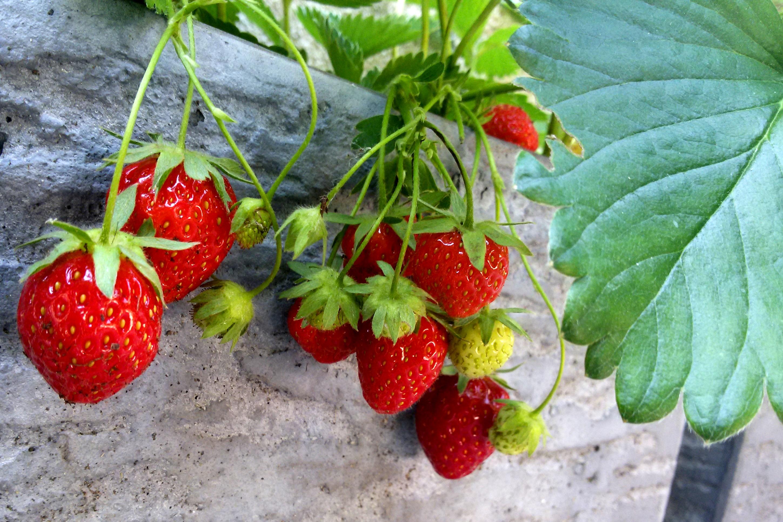 fraises du jardin