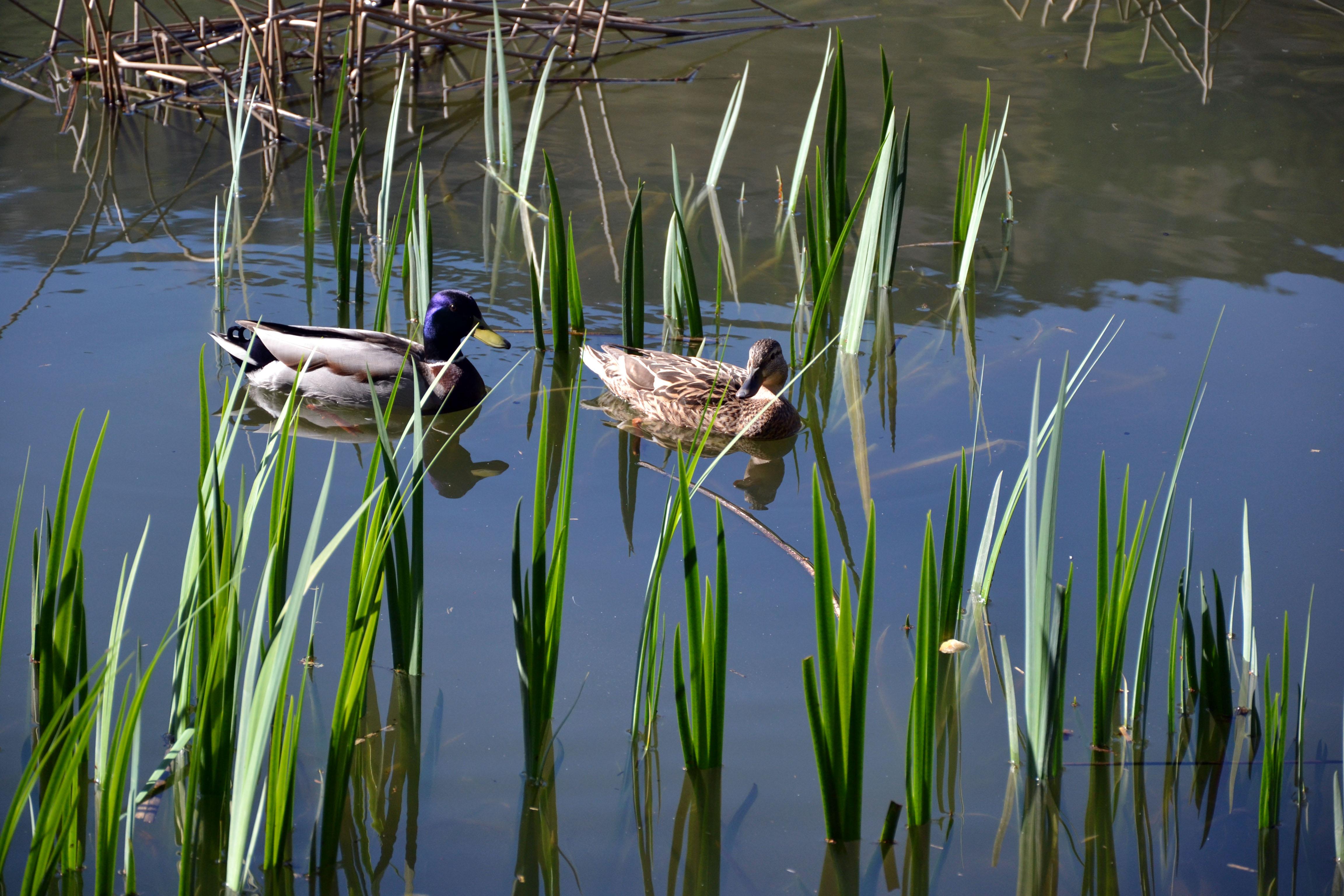 couple de canard