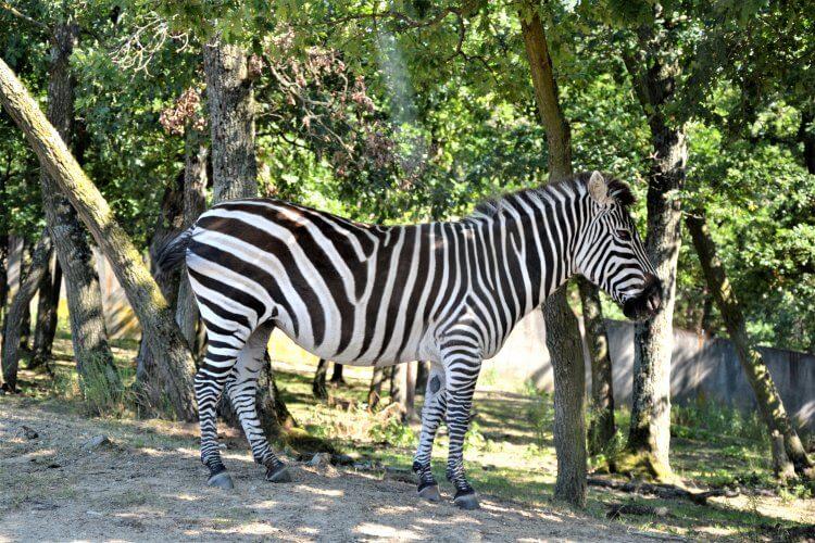 Zèbre d'Afrique circuit voiture Safari de Peaugres