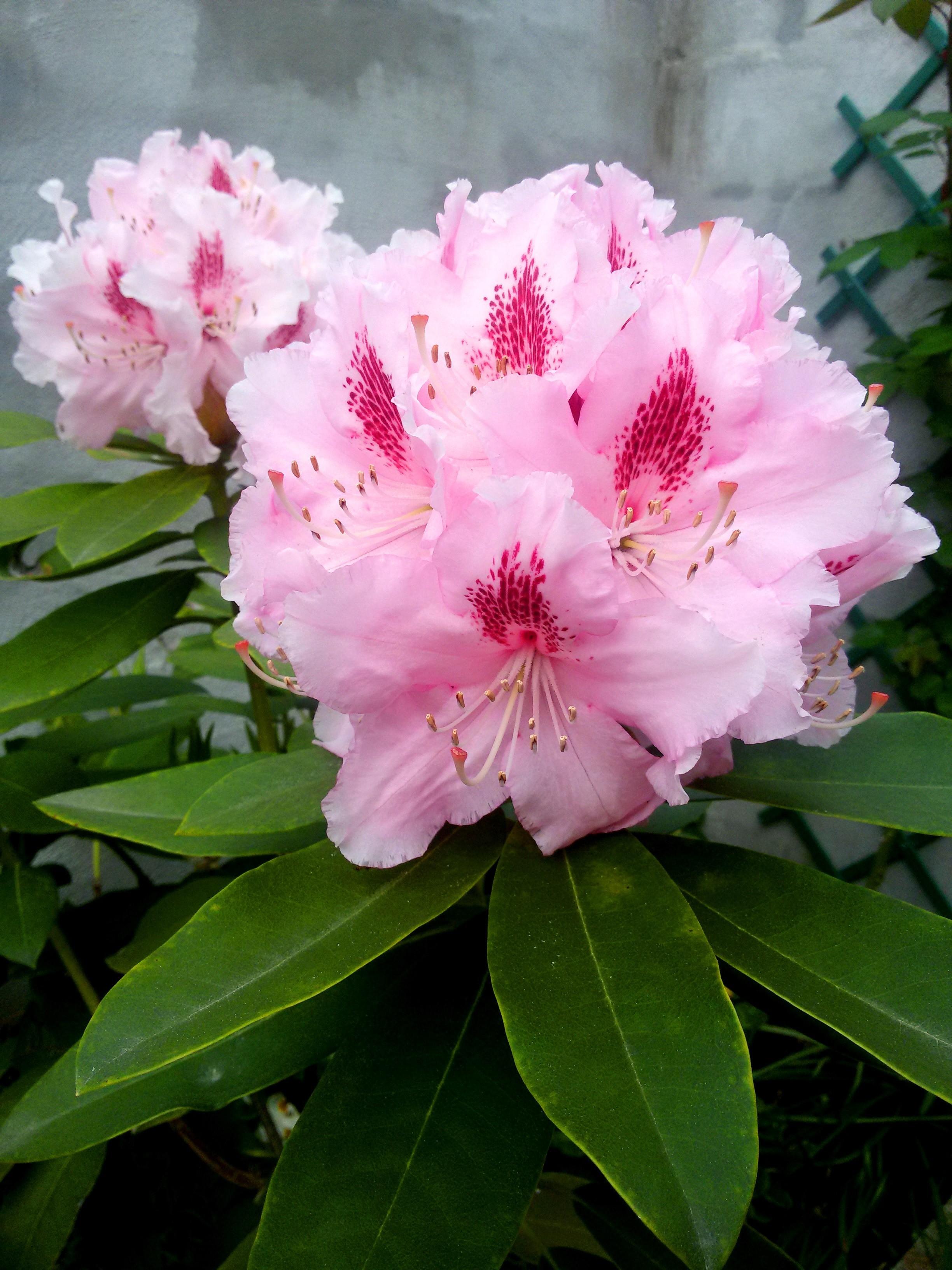 fleurs de rhododrendron
