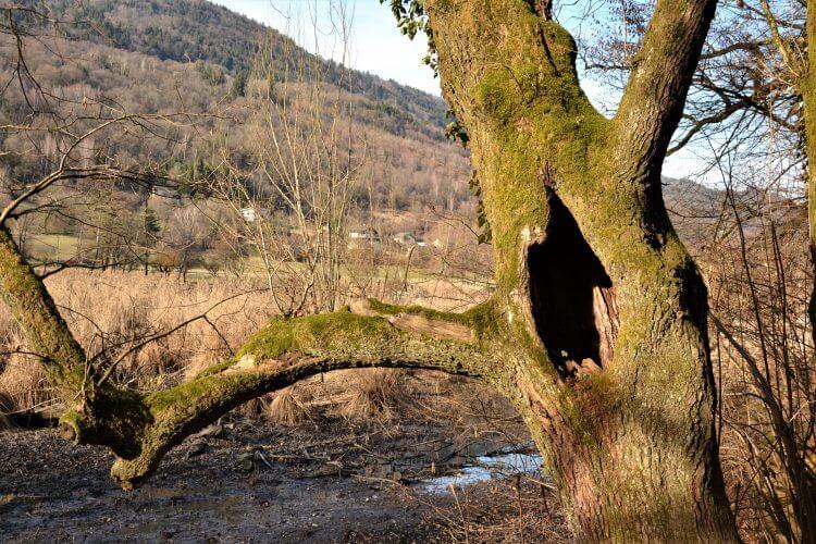 arbre chanteur