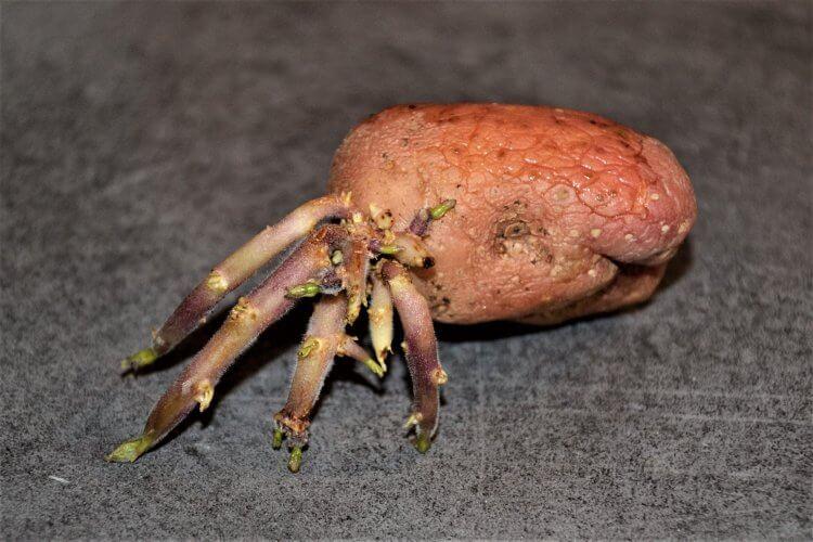tubercule de pomme de terre ressemblant à un Bernard l'hermite