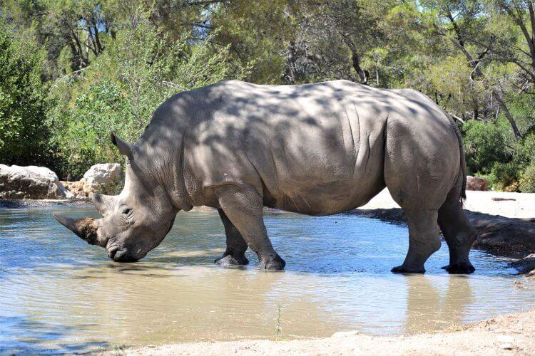 rhinocéros du zoo du lunaret