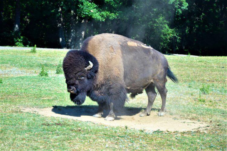 Bison Américain du Safari de Peaugres